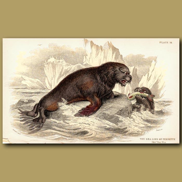 Antique print. Sea Lion of Pernetty