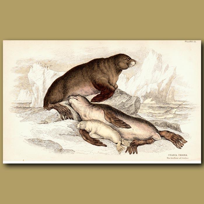 Antique print. Steller's Sea Bear