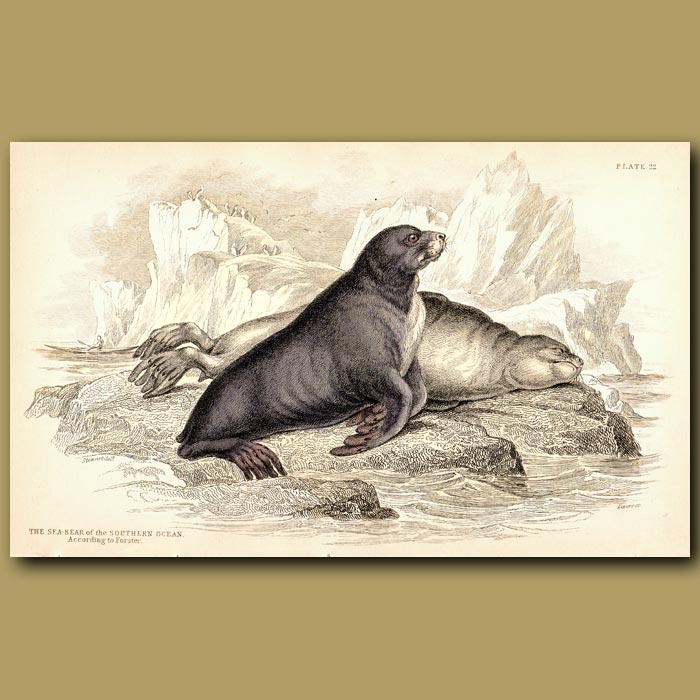 Antique print. Sea Bear of the Southern Ocean
