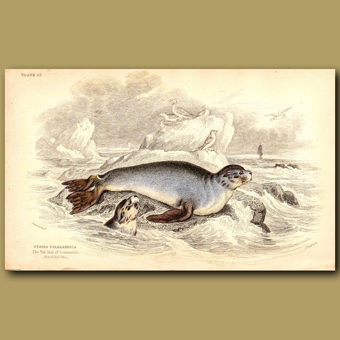 Antique print. Fur Seal