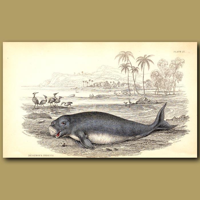 Antique print. Dugong