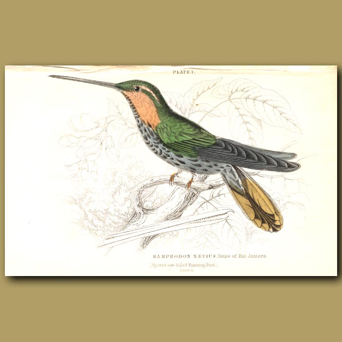 Antique print. Spotted Saw-billed Hummingbird