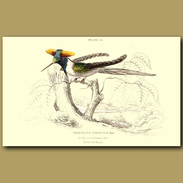 Antique print. Double-crested Hummingbird