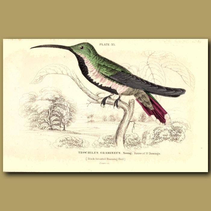 Antique print. Black-breasted Hummingbird (young)