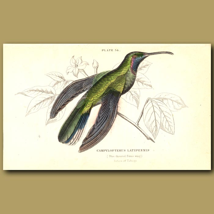 Antique print. Blue-throated Sabre Wing Hummingbird