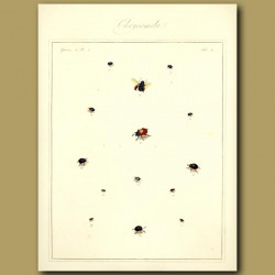 Chaffers - Chrysomela Beetles (II)