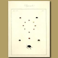 Chaffers - Chrysomela Beetles (III)