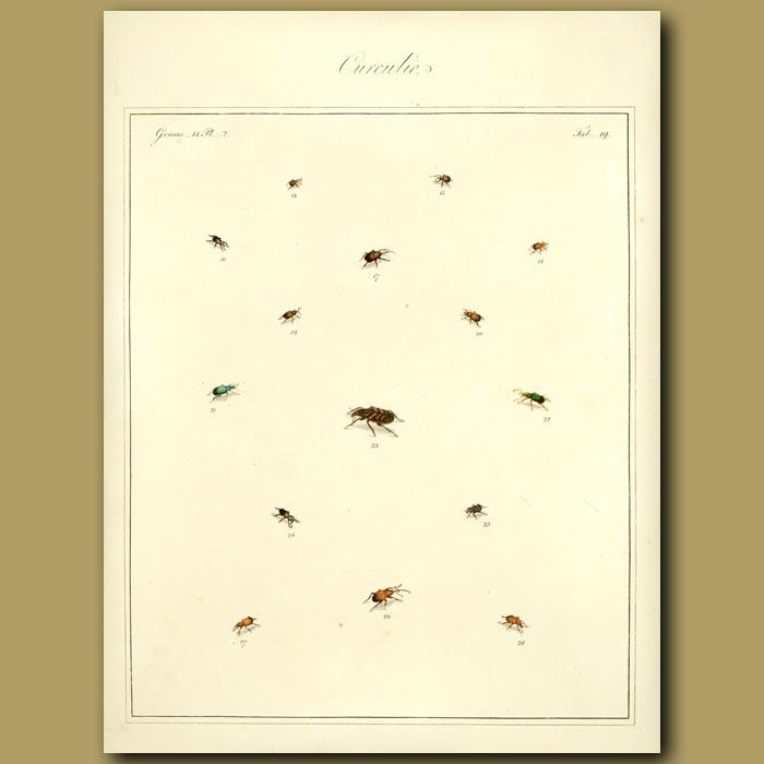 Antique print. Curculio Beetles (I)
