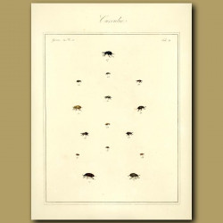 Curculio Beetles (II)