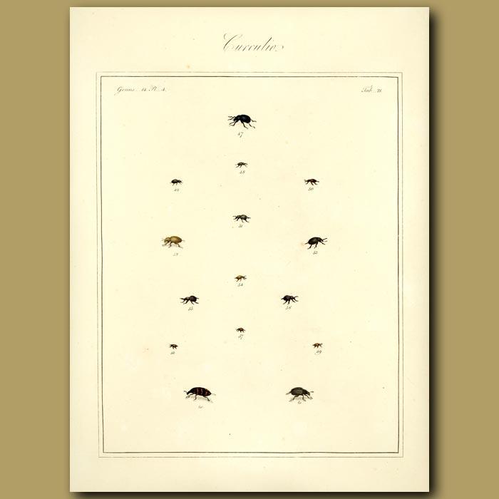 Antique print. Curculio Beetles (II)