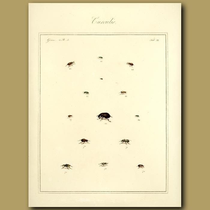 Antique print. Curculio Beetles (III)