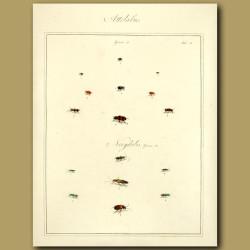 Attelabus Beetles and Necydalis Beetles