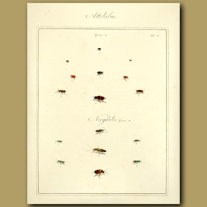 Antique print. Attelabus Beetles and Necydalis Beetles