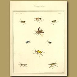 Cerambix Beetles (II)