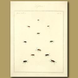 Leptura Beetles