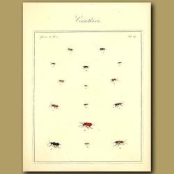 Cantharis Beetles