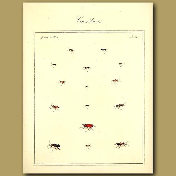 Antique print. Cantharis Beetles