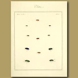 Elater Beetles