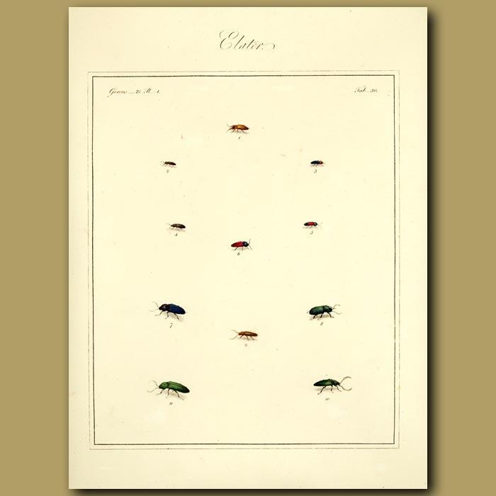 Antique print. Elater Beetles