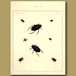 Water Boatmen - Drytiscus Beetles (I)