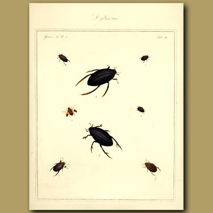 Antique print. Water Boatmen - Drytiscus Beetles (I)