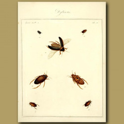 Water Boatmen - Drytiscus Beetles (III)