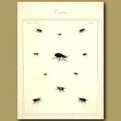 Carabus Beetles