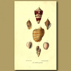 Cone, Volute And Helix Shells