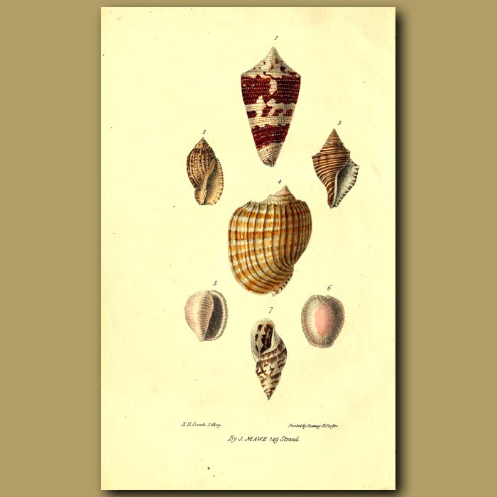 Antique print. Cone, Volute And Helix Shells