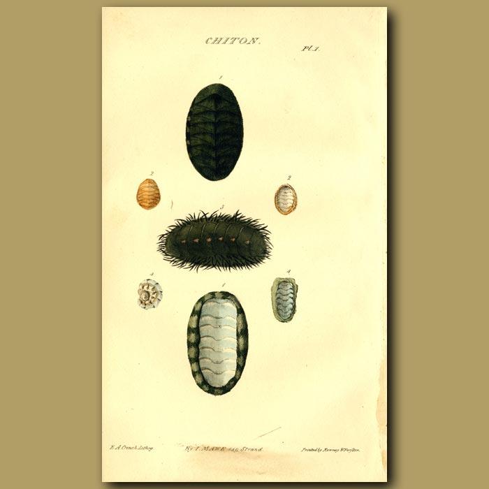 Antique print. Coat Of Mail Shells