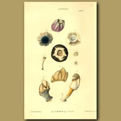 Acorn Shell Or Barnacle