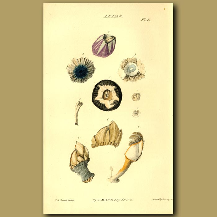Antique print. Acorn Shell Or Barnacle