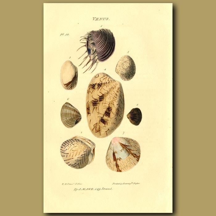 Antique print. Venus Shells