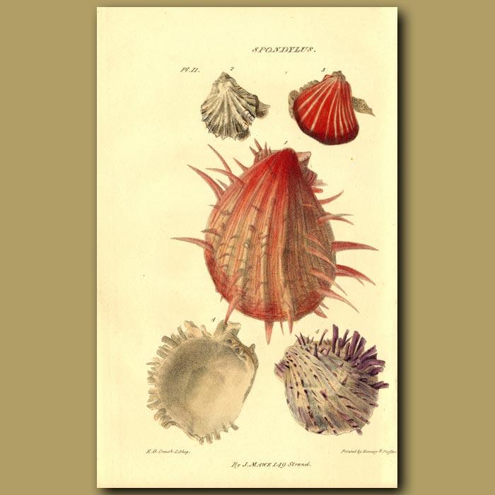 Antique print. Thorny Oyster Or Artichoke Shells