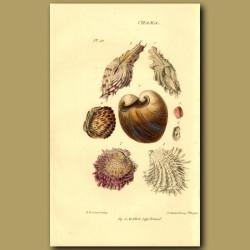 Clamp, Clam Or Gaper Shells
