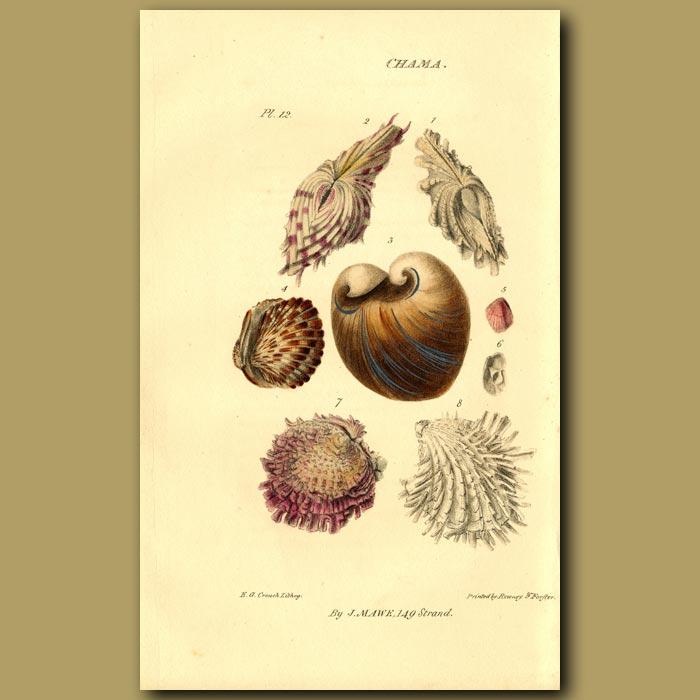Antique print. Clamp, Clam Or Gaper Shells