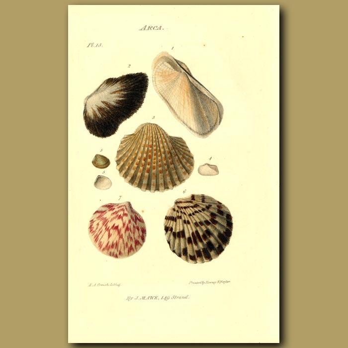 Antique print. Ark Clam Shells