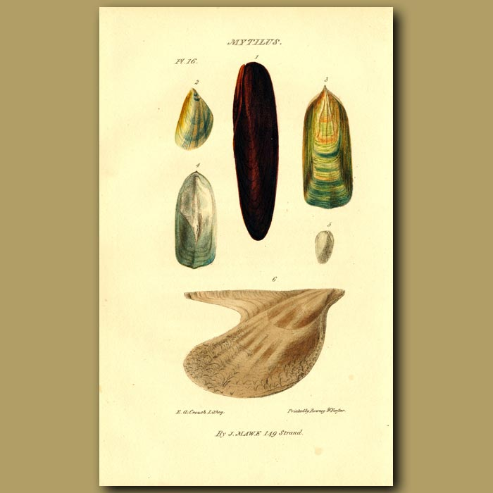 Antique print. Mussel (Mawe Spelt As Muscle) Shells