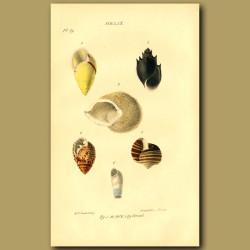 Snail Or Spiral Shells