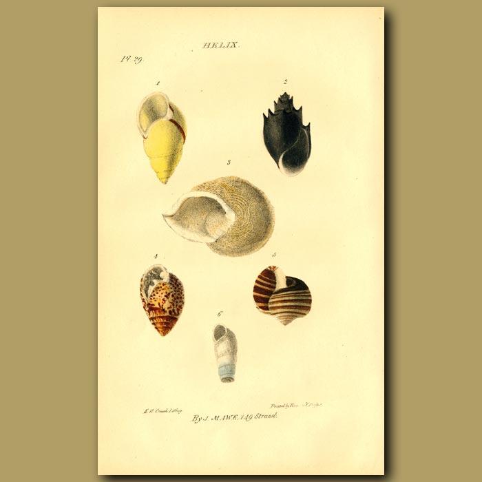 Antique print. Snail Or Spiral Shells