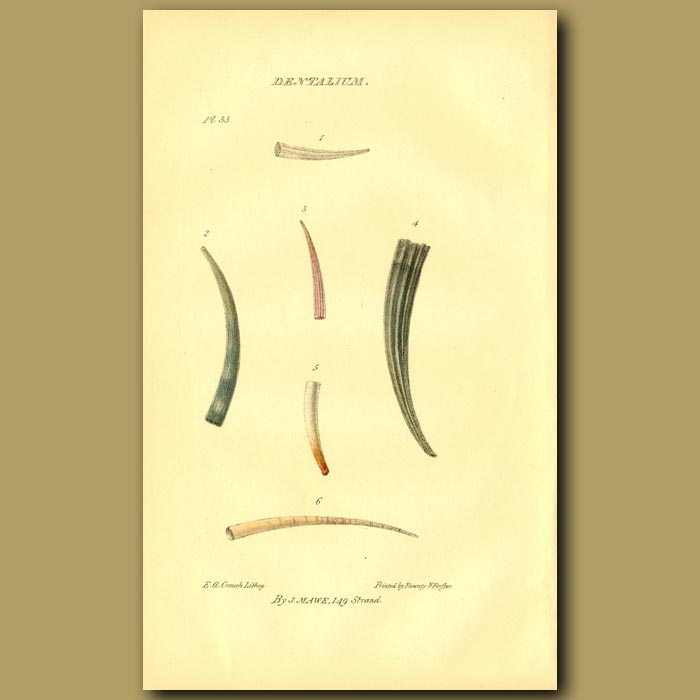 Antique print. Tooth Or Tusk Shells