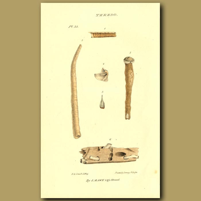 Antique print. Ship Worm Shells