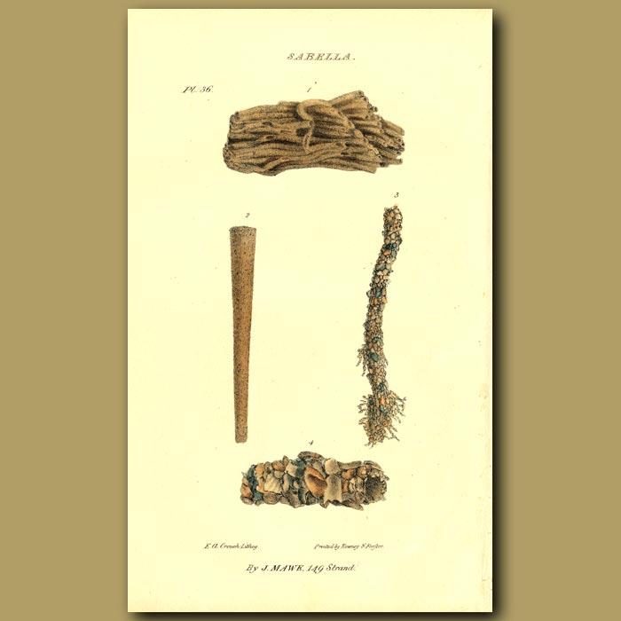 Antique print. Sabella Shells