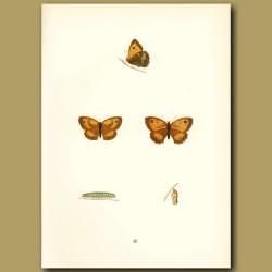 Small Meadow Brown Butterflies