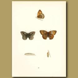 Large Meadow Brown