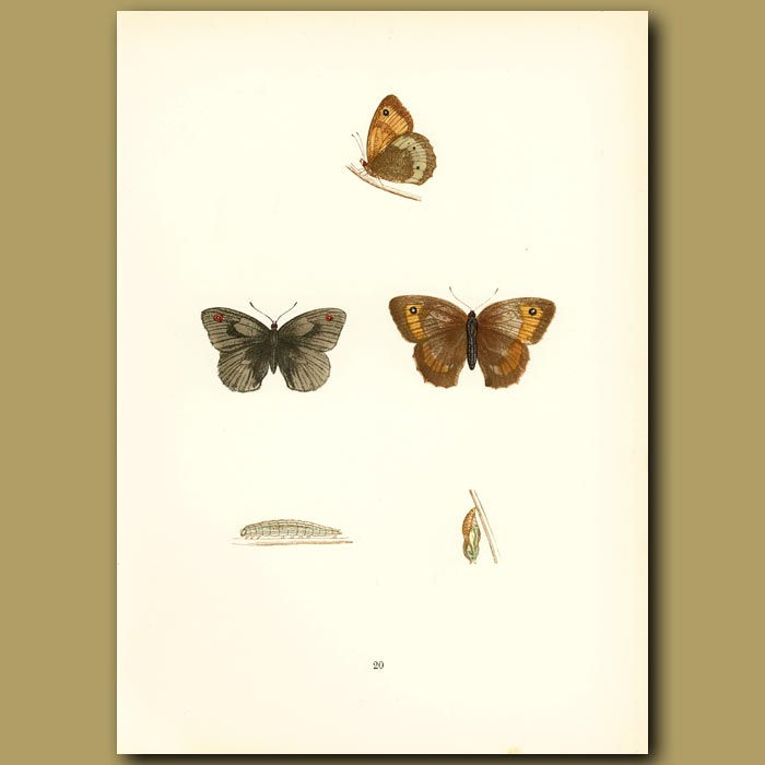 Antique print. Large Meadow Brown