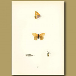 Heath Butterflies
