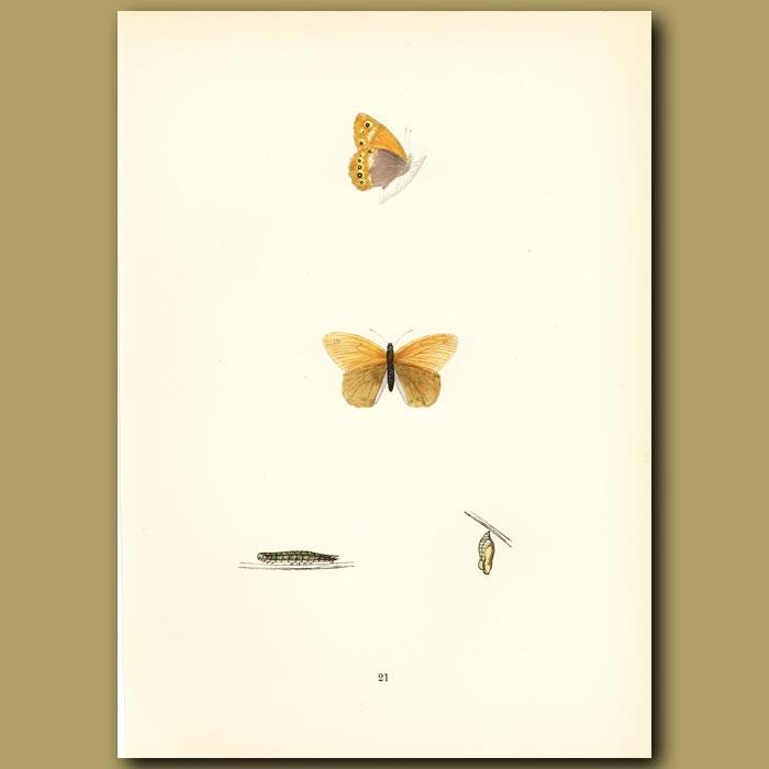 Antique print. Heath Butterflies