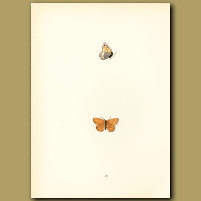 Antique print. Least Meadow Brown Butterflies