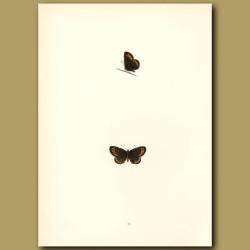 Small Ringlet Butterflies